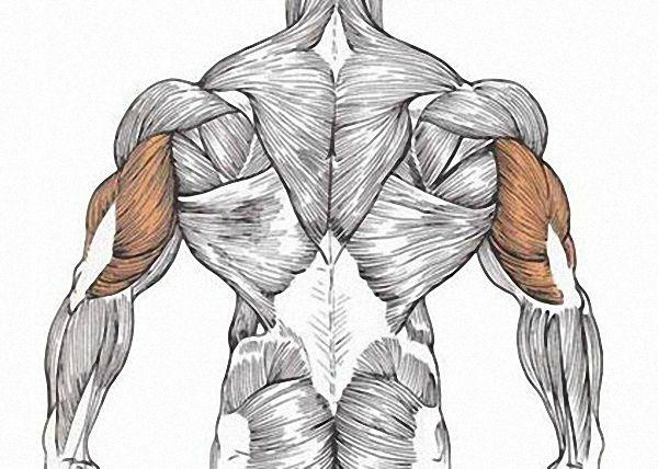 Уже из названия мускула можно понять, что трицепс состоит из трех отделов: внешнего (латерального)